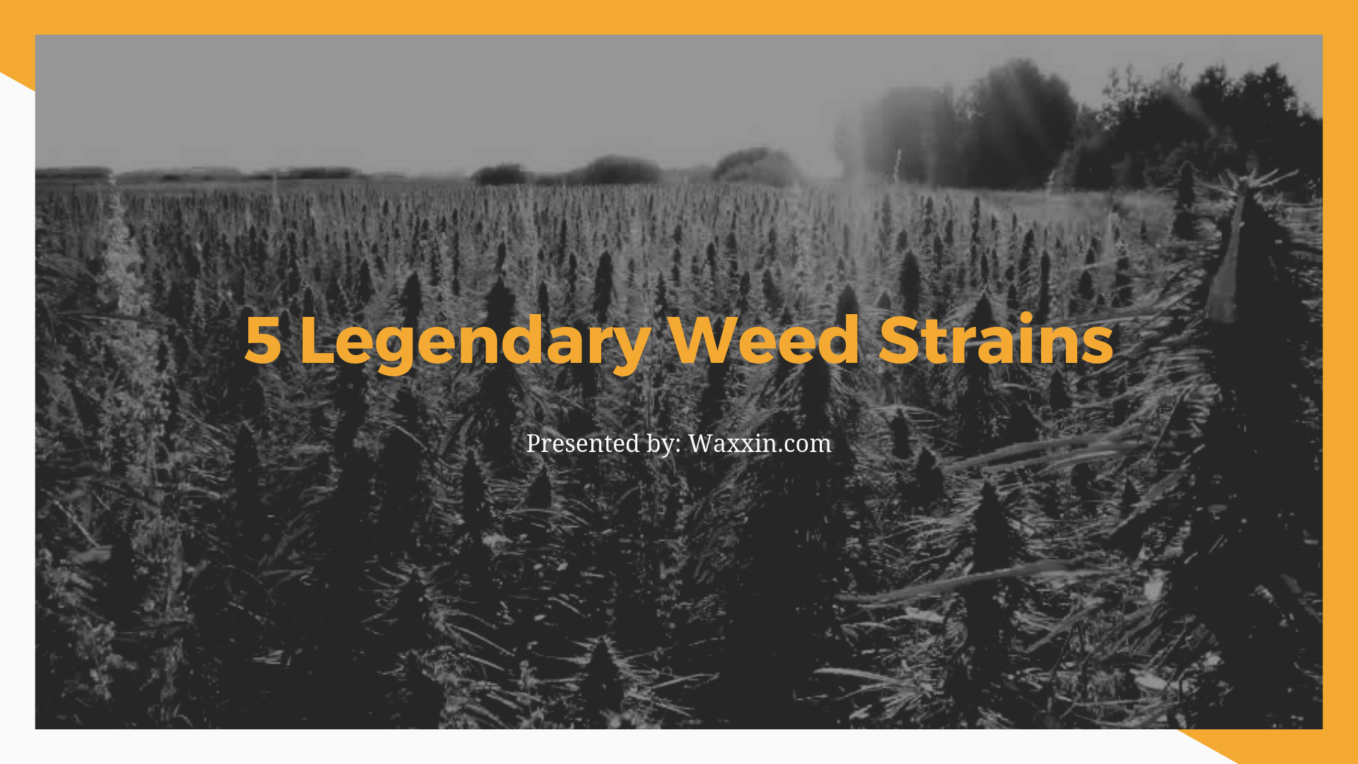 the best weed strains are here!!